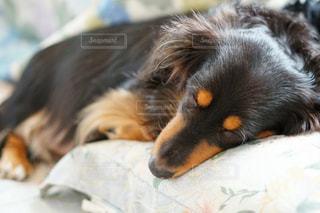 近くにベッドの上で横になっている犬のアップの写真・画像素材[1184253]