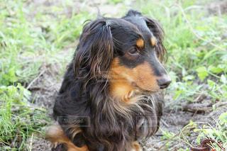 草に茶色と黒犬立っています。の写真・画像素材[1184264]