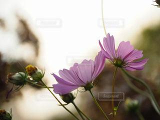 花,ピンク,白,花束,コスモス,光,草木,フローラ