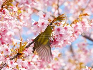 花,桜,動物,鳥,鮮やか,メジロ,卒業,羽ばたき,旅立ち,草木,さくら,ブロッサム
