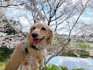 犬,自然,春,桜,動物,屋外,かわいい,雲,晴れ,青空,池,樹木,ペット,お散歩