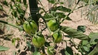 トマトの写真・画像素材[3301154]