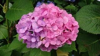 紫陽花の写真・画像素材[3378380]