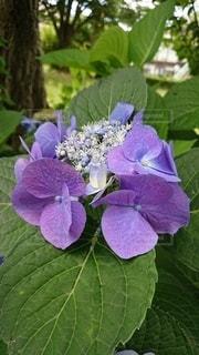 紫陽花の写真・画像素材[3378381]