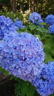 紫陽花の写真・画像素材[3378395]