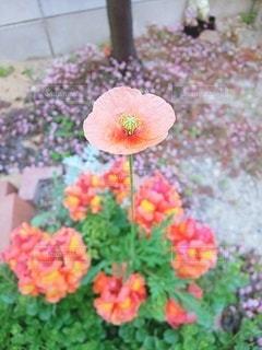 自然,花,春,屋外,ピンク,鮮やか,花壇,草木,様子,凛と