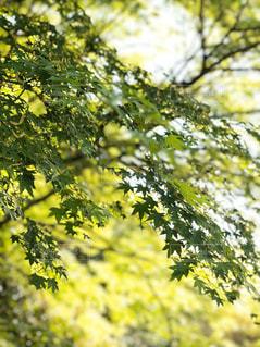 自然,風景,春,紅葉,森林,緑,綺麗,葉,もみじ,背景,樹木,新緑,癒し,リフレッシュ
