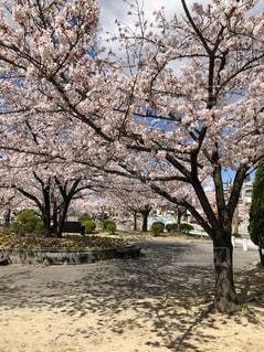 風景,公園,花,春,木,緑,綺麗,散歩,葉,花見,樹木,新緑,日本,リフレッシュ,桜の花,美,さくら