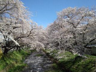 自然,空,花,春,桜,屋外,景色,樹木,草木,さくら,ブロッサム