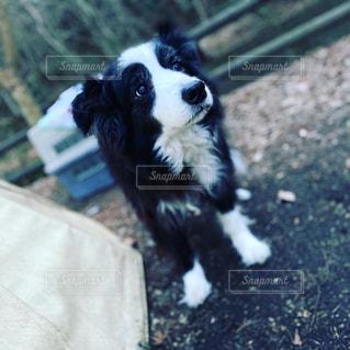 犬,動物,白,黒,ペット,キャンプ,地面,テリア,ボーダーコリー