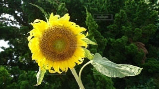 自然,風景,花,夏,木,植物,ひまわり,向日葵,草木