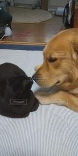 犬,猫,動物,かわいい,ゴールデン ・ リトリーバー