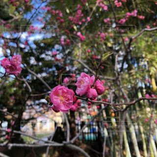 花,春,ピンク,北海道,flowers,pink,草木,Spring,Hokkaido,ビビッドピンク,vividpink