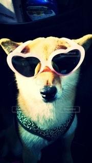犬,動物,サングラス,眼鏡,柴犬,見つめる,赤柴,唐草模様