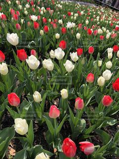自然,風景,花,春,赤,景色,チューリップ,鮮やか,草木