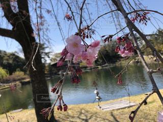 自然,空,花,春,屋外,湖,水面,樹木,草木,ブロッサム