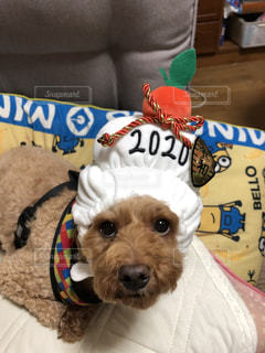 犬,動物,屋内,かわいい,ペット,癒し,プードル,2020,被り物,鏡餅,令和