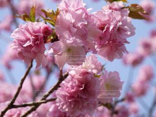 花,ピンク,八重桜,草木,桜の花