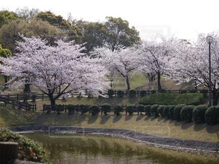 公園,屋外,池,樹木,さくら