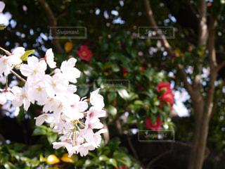 花,桜,椿,樹木,草木