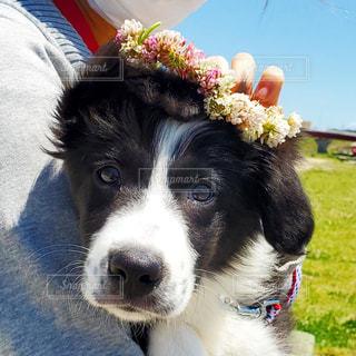 犬,動物,芝生,散歩,可愛い,子犬,花冠,ボーダーコリー