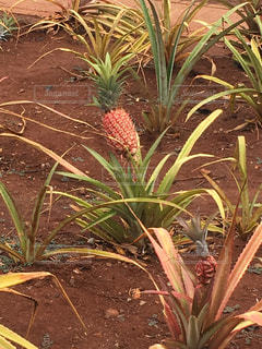 自然,果実,パイナップル,草木