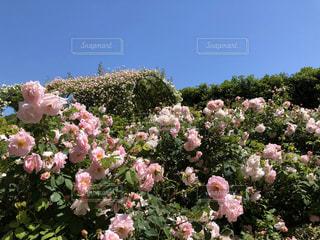 空,花,屋外,ピンク,バラ,花びら,鮮やか,ガーデン,フローラ