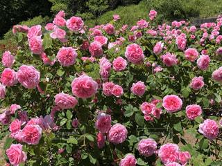 公園,花,屋外,ピンク,植物,バラ,花びら,鮮やか,ガーデン,フローラ