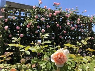 空,公園,花,屋外,ピンク,バラ,花びら,鮮やか,ガーデン,フローラ