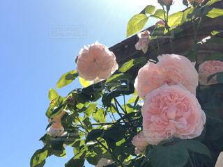 空,花,ピンク,青空,バラ,薔薇,草木