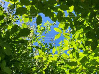 空,屋外,緑,葉,景色,樹木,新緑,グリーン,Green,草木