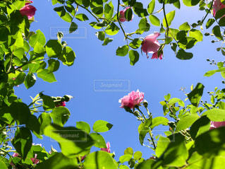 空,花,ピンク,バラ,葉,景色,鮮やか,薔薇,草木