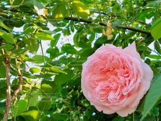 花,屋外,ピンク,バラ,葉,鮮やか,薔薇,樹木,草木