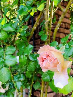 花,屋外,バラ,景色,鮮やか,薔薇