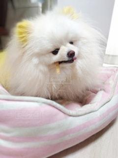 犬,動物,ポメラニアン,屋内,白,かわいい,ペット,おやつ,わんこ,可愛い,男の子,成犬,小型犬,ポメ,犬のおやつ,ジローちゃん