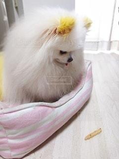 犬,動物,ポメラニアン,屋内,白,かわいい,家,おやつ,可愛い,成犬,小型犬,待て,イヌ,ポメ,白犬,犬のおやつ,ジローちゃん