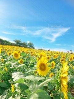 野原の黄色い花の写真・画像素材[3250954]