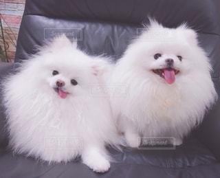 小さな犬の写真・画像素材[3367218]