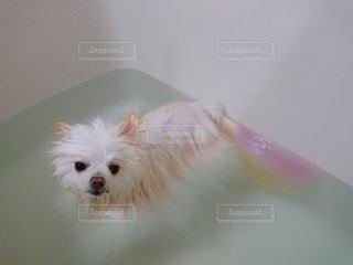 カメラを見ている小型犬の写真・画像素材[3369875]