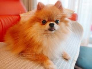 テーブルの上に座っている小さな犬の写真・画像素材[3369915]