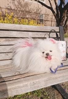 ホワイト×ピンクのタマちゃんの写真・画像素材[4292108]