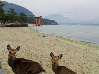 海,動物,砂浜,鳥居,海岸,山,鹿,厳島神社
