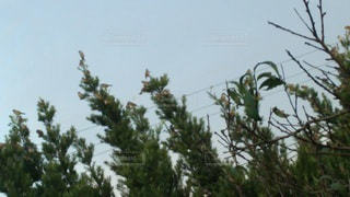空,鳥,屋外,樹木,すずめ,草木,針葉樹,クリスマス ツリー