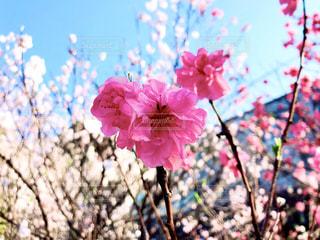 空,花,春,桜,屋外,鮮やか,大輪,ブロッサム,濃い色