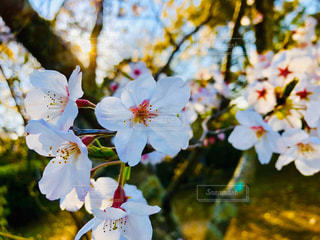 空,花,花見,日の光,草木,ブルーム,ブロッサム