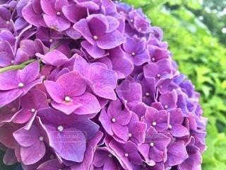 紫陽花の写真・画像素材[3442962]
