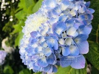 青い紫陽花の写真・画像素材[3442963]