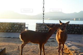 動物,カップル,夫婦,鹿,愛情