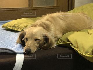 犬,動物,屋内,かわいい,寝転ぶ,ミニチュアダックス,眠い,気持ちいい,ベッド