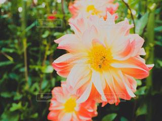 花,鮮やか,蜂,ダリア